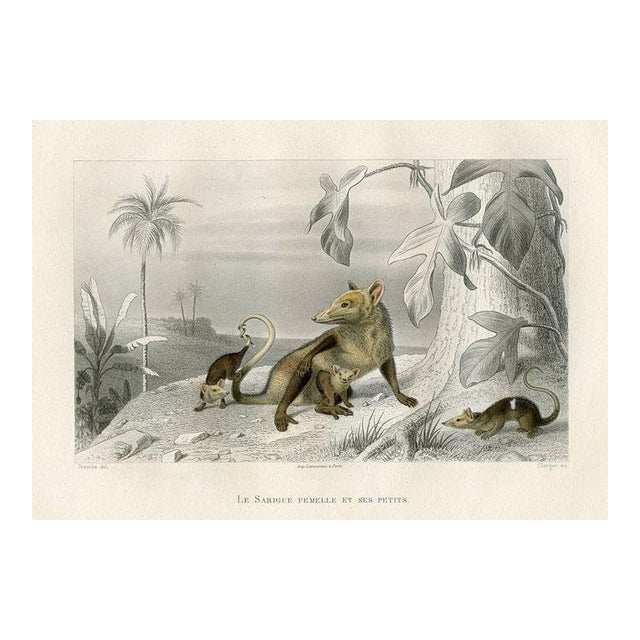 Possum and Her Young, 1880 Engraving For Sale