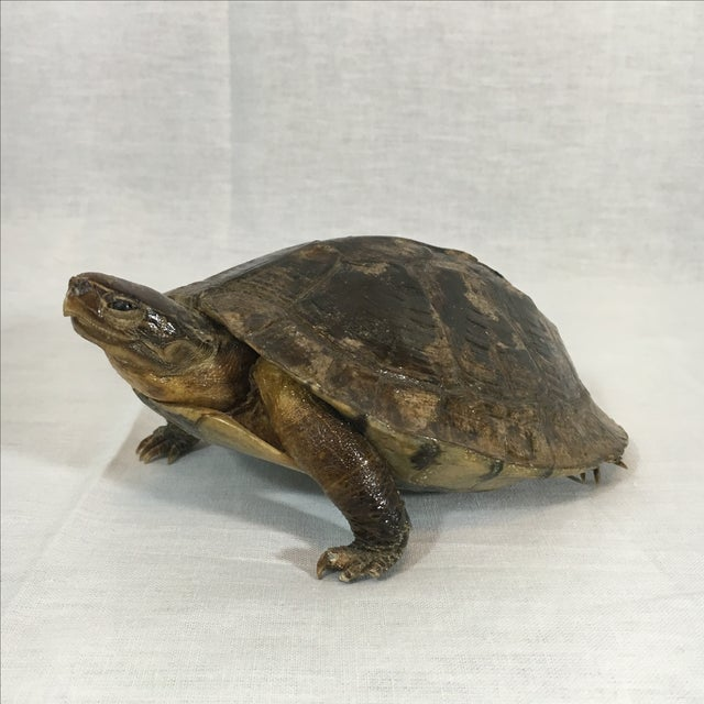 Antique French Taxidermy Turtle - Image 2 of 5