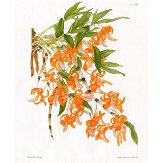 The Unique Dendrobium, Vintage Orchid Print by Margaret Stones For Sale