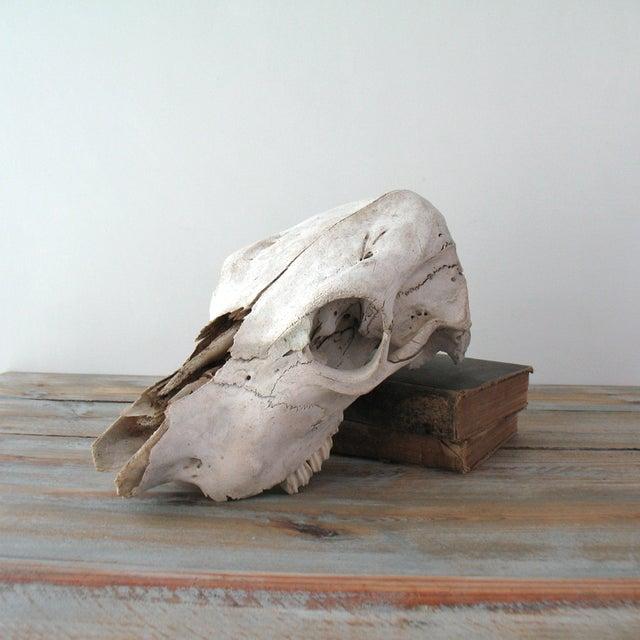 Vintage Cow Skull - Image 2 of 7