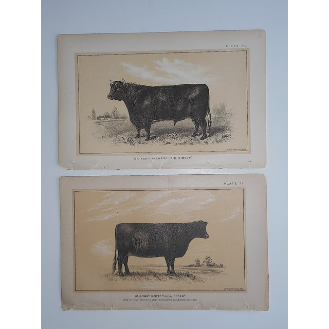 Antique Bull & Cow Lithographs - A Pair - Image 2 of 5