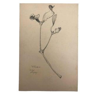 1909 Hiram Campbell Merrill Botanical Pencil Drawing For Sale