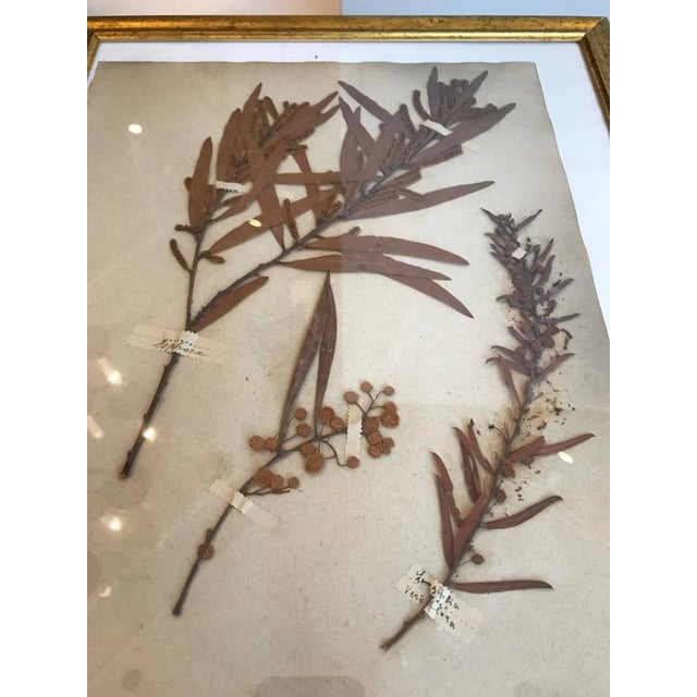 French dried botanical in gilt frame.