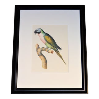 "Matted and Framed Vintage Larousse Perroquet ""Moustache Parakeet"" Color Lithograph For Sale"