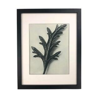 Framed Antique Botanical Blossfeldt Print - No. 39 For Sale