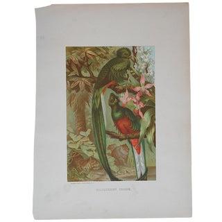 Antique Resplendent Trogon Lithograph For Sale