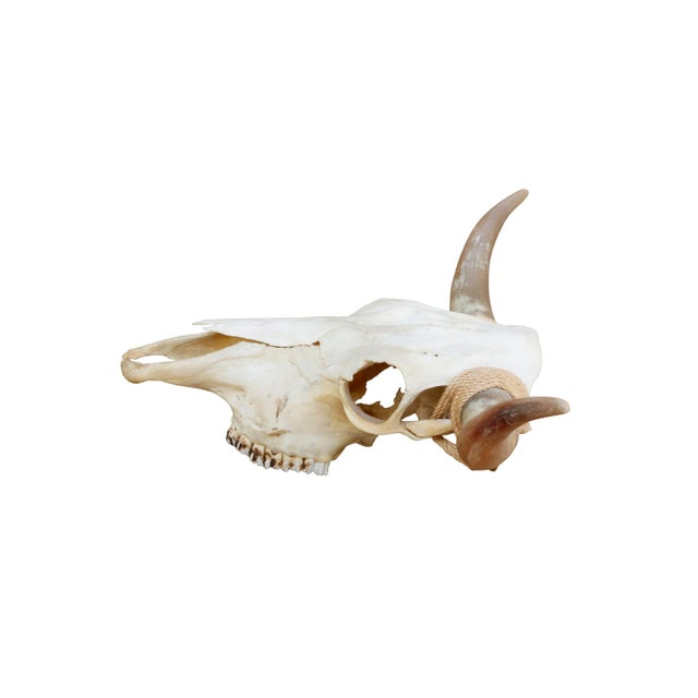 Authentic Longhorn Steer Skull For Sale - Image 4 of 8
