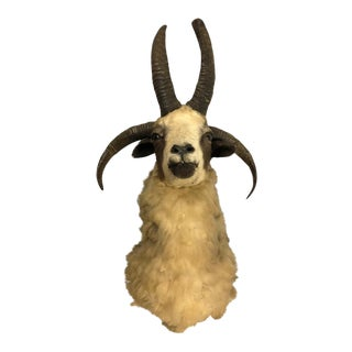 European 4 Horn Jacob Sheep Ram Exotic Taxidermy Shoulder Mount