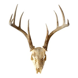 1950s Vintage Natural 9 Point Whitetail Deer Skull For Sale