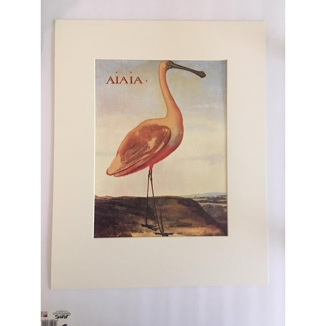 """Albert Eckhout's Roseate Spoonbill - 1970s Print of 1644 Painting From """"Birds of Brazil"""" - Image 3 of 3"""