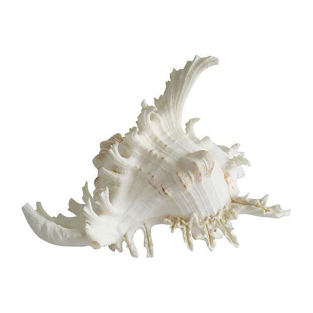 Spiky Conch Shell - Image 3 of 4