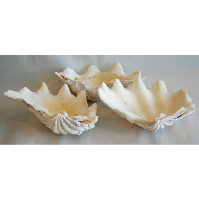 Antique Nautical Seashells Clamshells - Set of 3 - Image 6 of 7