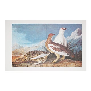 1966 Audubon Print of Spotted Grouse