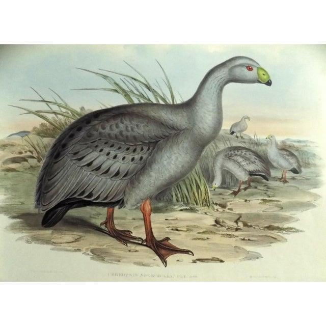 1840s Cape Barren Goose John Gould Print For Sale - Image 4 of 11