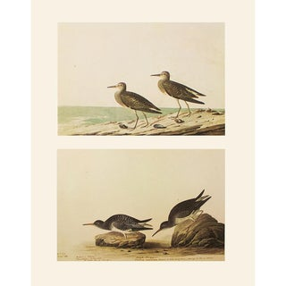 1966 Purple and Pectoral Sandpipers by John James Audubon For Sale
