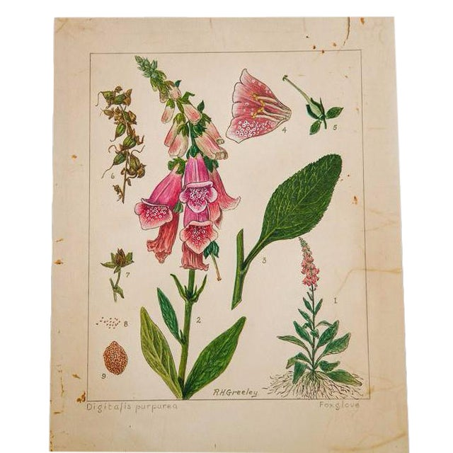 R.H. Greeley Foxglove Botanical Watercolor For Sale