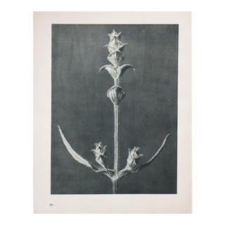 Blossfeldt Double Sided Photogravure