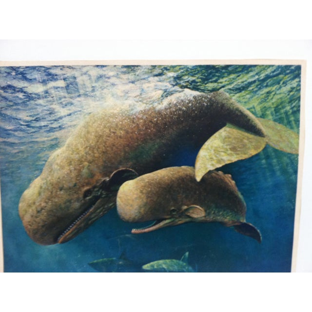 """This is a Vintage Color Animal Print that is titled """"Sperm Whale"""" by George L Schelling. The Print dates from around 1960..."""