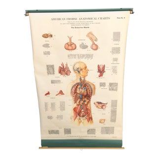 1940s Vintage American Frohse Anatomical Roll-Down Chart