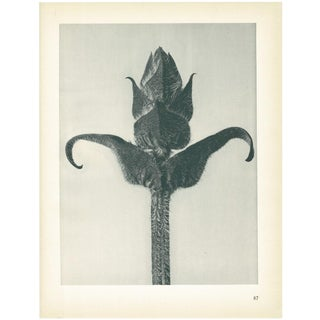 1928 Original Period Photogravure N87 of Brunella Grandiflora by Karl Blossfeldt For Sale
