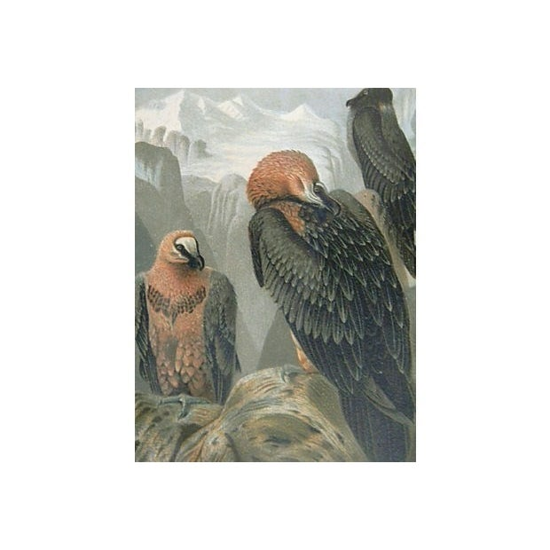 An unusual, beautifully colored chromolithograph of bearded vultures (Lammergeyer) by Louis Prang & printed by Selmar Hess...