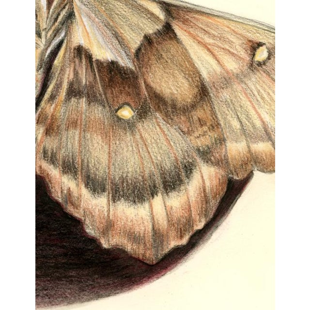 Detailed mixed media drawing of a Giant Silk Moth, from the family Saturniidae. The largest moth found in the Pacific...