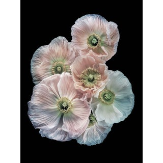 "Photographic Botanical Print, ""Pastel Poppies"" by Artist Debi Shapiro For Sale"