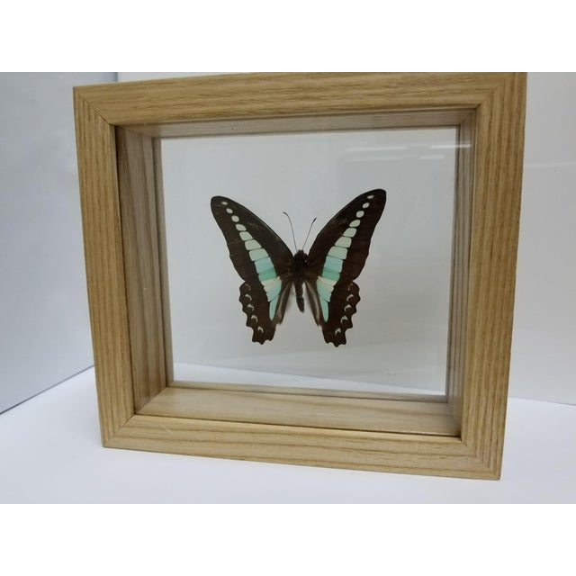 Indonesian Framed Swallowtail Butterfly - Image 3 of 5