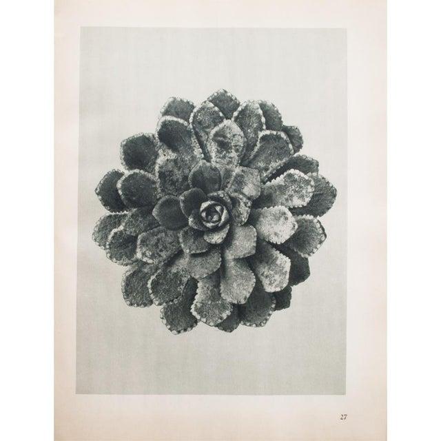 Karl Blossfeldt Double Sided Photogravure N27-28 - Image 2 of 8