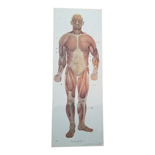 "Vintage Anatomy Poster 22x43"" For Sale"