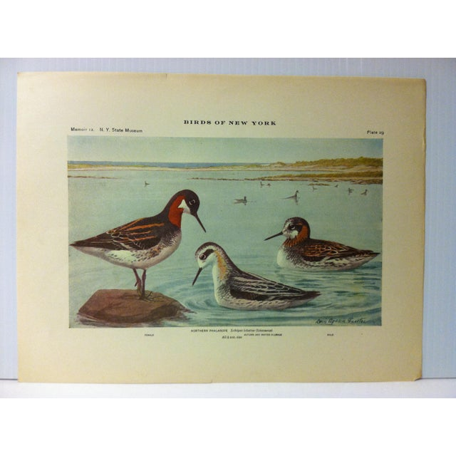 """This is a Real Nice Antique The State of New York Museum Birds of New York Print on Paper that is titled """"Northern..."""