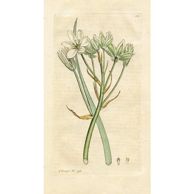 Illustration Star of Bethlehem, Antique Botanical Print, 1793 For Sale - Image 3 of 3