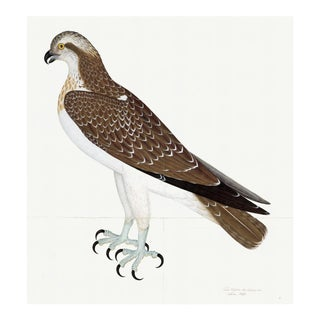 Osprey Plate 26 by Olof Rudbeck (Cfa-Wd) For Sale
