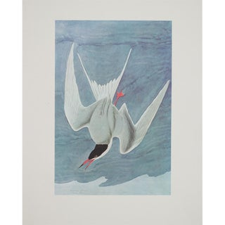1960s Cottage Style Lithograph of a Common Tern by John James Audubon