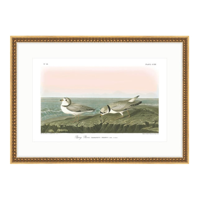 "Soicher Marin Piping Plover Audubon ""Birds of America"" Gold Framed Print For Sale"
