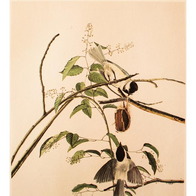 American 1960s Cottage Lithograph of Carolina Titmouse or Carolina Chickadee by Audubon For Sale - Image 3 of 8