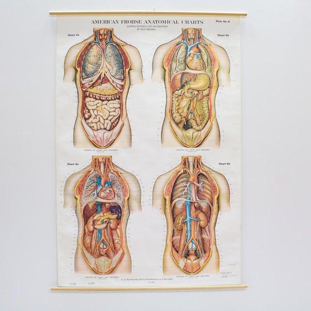 Anatomical Charts, Viscera of Chest and Abdomen | Chairish