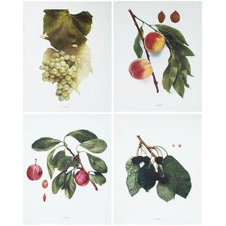 1900s U. P. Hedrick, Original Fruits Photogravures - Set of 4 For Sale