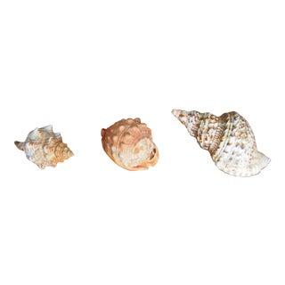 Seashells From Bali Indonesia - Set of 3