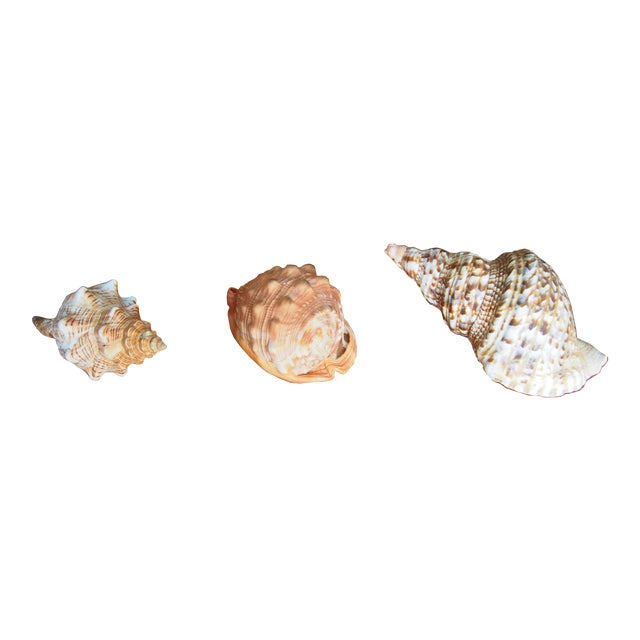 Seashells From Bali Indonesia - Set of 3 - Image 1 of 3