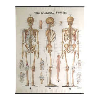 Vintage Mid-Century Anatomical Chart - Skeletal System