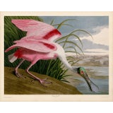 Image of Audubon Roseate Spoonbill Giclee Print For Sale