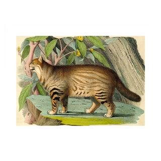 Antique 'Wild Cat' Archival Print For Sale