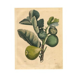 Antique 'Figs' Archival Print For Sale