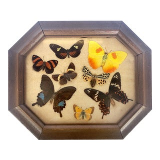 Mid-Century Mounted Butterfly Species Display W/ Frame For Sale