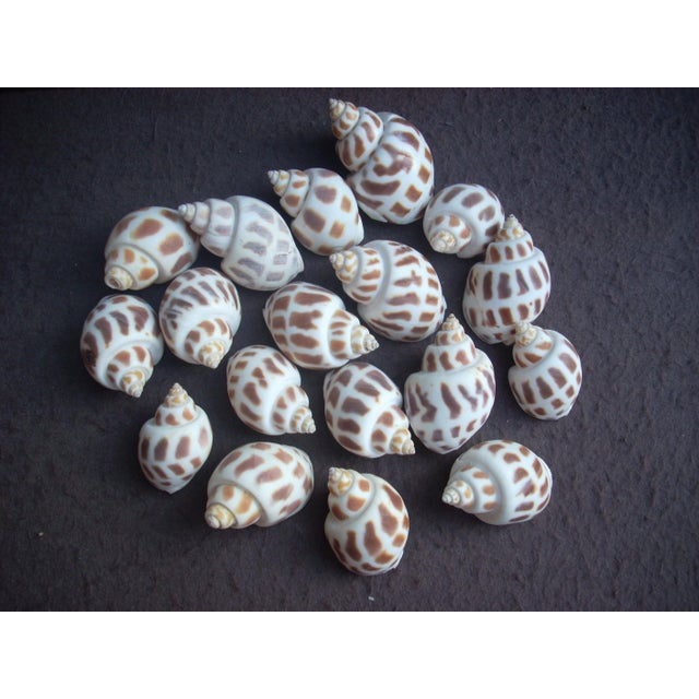 """Scientific name """"Babylonia spirata""""; this assortment of 18 shells make a great display as a grouping"""