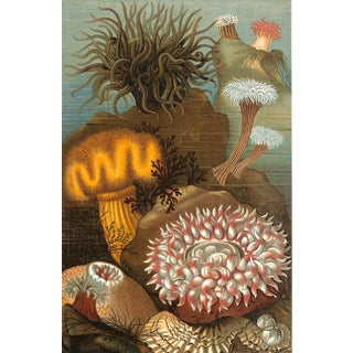 Sea Anemones, Antique Print 1885, Matted For Sale