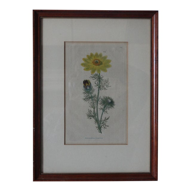 English Curtic Yellow Sunflower Botanical Print For Sale