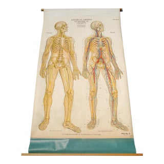 Medical Anatomy Pulldown Chart Skeleton Circulatory and Nervous System For Sale