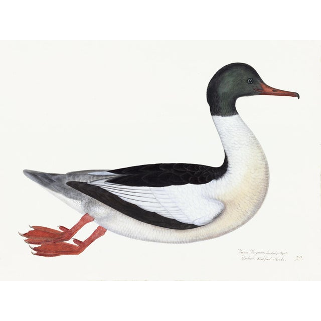 Male Goosander Plate 22 by Olof Rudbeck (Cfa-Wd) For Sale In Atlanta - Image 6 of 6